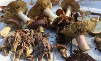 SCMS – Snohomish County Mycological Society