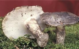 Boletopsis subsquamosa